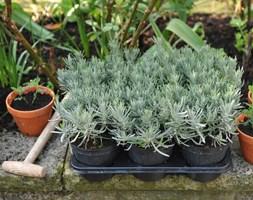Lavandula angustifolia (lavender promotion - 6 pack)