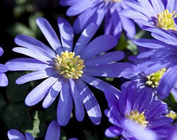 Anemone blanda (wood anemone)