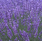 http://www.crocus.co.uk/images/products2/PL/20/00/00/27/PL2000002724_list.jpg