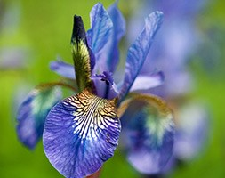 Iris sibirica 'Persimmon' (Siberian iris)