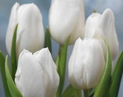 Tulipa 'White Dream' (Tulip)