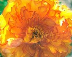 Paeonia Orange (tree peony / tree paeony)