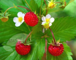 Fragaria vesca (alpine strawberry)