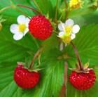 alpine strawberry - woodland