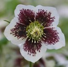 Helleborus × hybridus Harvington speckled white