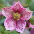 Helleborus × hybridus Harvington pink speckled