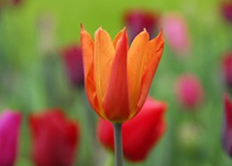 Tulipa 'Ballerina' (lily flowered tulip bulbs)