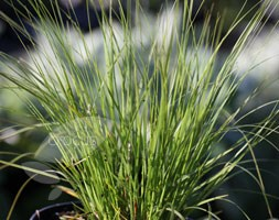 Sporobolus heterolepis (Prairie dropseed)