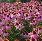 Echinacea purpurea Kim's Knee High (PBR)