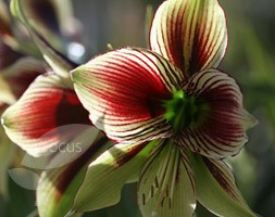 Hippeastrum papilio (butterfly amaryllis bulb)
