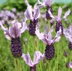 Lavandula Rocky Road = 'Fair 09' (PBR)