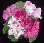 five bedding geraniums