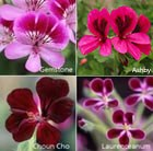 Bruised pelargonium collection - containing 5 plants