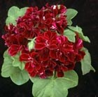 Pelargonium Barbe Bleu