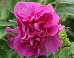 Rosa 'Roseraie de l'Haà </p> </div>  <div class=