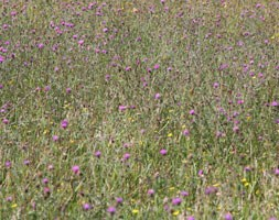 Wildflowers for a stronger colour sunny meadow display (wildflower plug plant collection)