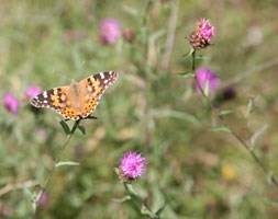 Wildflowers for attracting butterflies (wildflower plug plant collection)