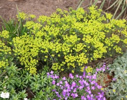 Euphorbia cyparissias 'Fens Ruby' (cypress spurge)