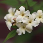 Jasminum officinale Clotted Cream = 'Devon Cream' (PBR)
