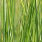 giant switch grass