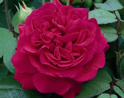 Rosa Tess of the d'Urbervilles ('Ausmove') (PBR) (rose Tess of the d'Urbervilles (shrub))