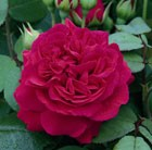 Rosa Tess of the d'Urbervilles ('Ausmove') (PBR)