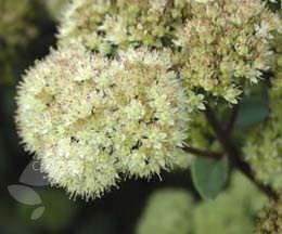 Sedum telephium subsp. maximum 'Gooseberry Fool' (orpine)