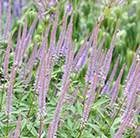 Veronicastrum virginicum Fascination