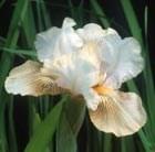 intermediate bearded iris