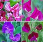 sweet pea collection