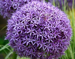 Allium 'Globemaster' (ornamental onion)