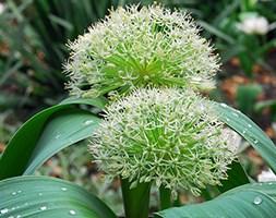 Allium karataviense 'Ivory Queen' (Turkestan onion bulbs)
