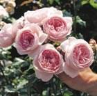 rose (climber)