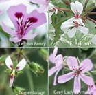 Scented pelargonium collection - containing 5 plants