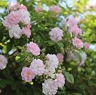rose Paul's Himalayan Musk (rambler)