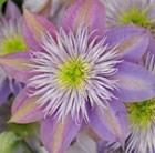 Clematis Crystal Fountain = 'Evipo038' (PBR)