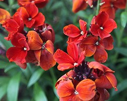 wallflower 'Fire King' (wallflower - Erysimum)