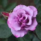 rose (shrub)
