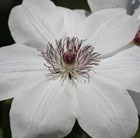 Clematis Wedding Day