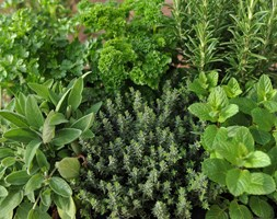 Herb collection (6 mixed herbs) (herb collection - mint, rosemary, thyme, parsley, sage & chives or lavender)
