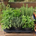 herb collection - mint, sage, thyme, parsley & rosemary or lavender