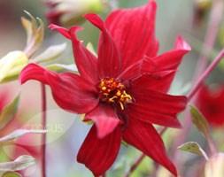 Dahlia 'Ragged Robin' (dahlia tuber)