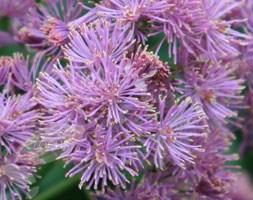 Thalictrum aquilegiifolium 'Thundercloud' (meadow rue)