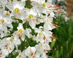 Eremurus 'Joanna' (foxtail lily)