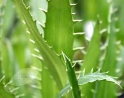 Eryngium agavifolium (sea holly)