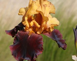 Iris 'Supreme Sultan' (tall bearded iris)