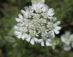 Orlaya grandiflora (white lace flower)