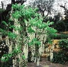 standard Chinese wisteria
