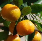 orange - mini