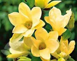 Magnolia denudata Yellow River ('Fei Huang') (magnolia)